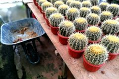 Golden barrel cacti for sale Royalty Free Stock Photos