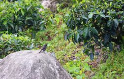 A Small Black Bird sitting on a Large Stone looking at a Green Tree Royalty Free Stock Photography