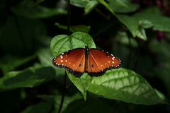 Photograph of a Soldier butterfly royalty free stock photos