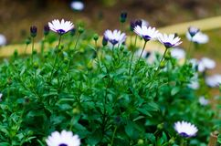 Photograph of some daisies in the home garden. White and purple. Pink and yellow royalty free stock photography
