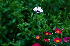 Photograph of some daisies in the home garden. White and purple. Pink and yellow stock image