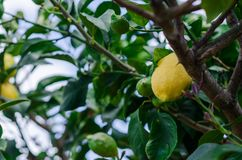 Photograph of some lemons in a lemon tree in the home garden. At home Royalty Free Stock Images