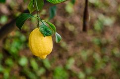 Photograph of some lemons in a lemon tree in the home garden. At home Stock Images