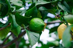 Photograph of some lemons in a lemon tree in the home garden. At home Stock Photography