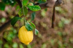 Photograph of some lemons in a lemon tree in the home garden. At home Royalty Free Stock Photo