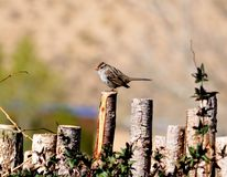 A photograph of a sparrow sitting on the coyote fence. A photograph of a sparrow sitting on a coyote fence showing his stripes on his head Stock Photo
