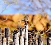 A photograph of a sparrow sitting on the coyote fence. A photograph of a sparrow sitting the coyote fence showing his brown colors on his wings and his stripes Royalty Free Stock Photos