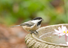 Black-capped Chickadee at Bird Bath. Photograph of a tiny Black-capped Chickadee perched on the edge of a bird bath in an autumn garden stock photos