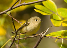 Ruby-crowned Kinglet Royalty Free Stock Images