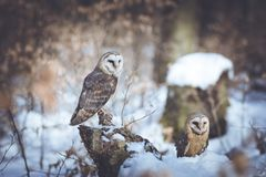 Barn-owls pair Stock Images