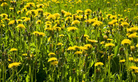 A photograph of a valley full of yellow flowers - dandelions. Photo of the bright summer sun meadows full of yellow flowers - dandelions Royalty Free Stock Photos