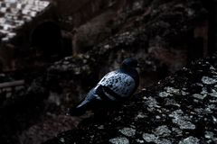 Photography of a dove in the Roman coliseum. royalty free stock photo