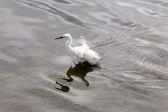 Ruffled Feathers. A photograph of a white egret bird ruffling his feathers, whilst on a lake Stock Photography
