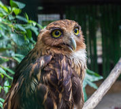 Photograph of a white faced scops owl perched Stock Photos
