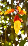 Yellow Lady Shoe Flower - Thunbergia Mysorensis. This is a photograph of yellow lady shoe flower, which is known as thunbergia mysorensis... It is also known as Stock Photos