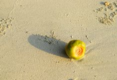 A Young Coconut - Green Tender Coconut - on Sandy Beach - Rule of Thirds in Still Life. This is a photograph of a young, green, tender coconut on a sandy beach royalty free stock photography