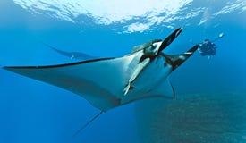 Photographe de Manta et de plongeur sur le récif Photo libre de droits