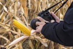 Photographe Taking Picture d'épi de maïs dans le domaine Image libre de droits