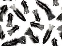 Photographed black with grey feathers on a white background. Seamless image to be repeated endlessly. Great for printed fabric, wallpaper, presentations, shop Stock Images