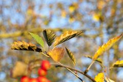 Colored leaves, close-up royalty free stock images