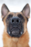 Photographed close-up nose of a large dog Stock Photos