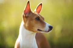 Photographed closeup muzzle red dog Stock Image