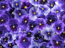 Photographed fresh purple viola flowers, covering complete background. Seamless image to be repeated endlessly Royalty Free Stock Photo