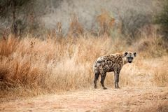 African Spotted Hyena on a South African Safari. Photographed on an game drive in a South African game reserve Stock Photos