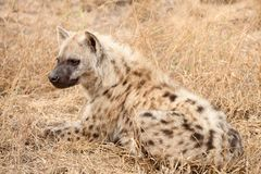 African Spotted Hyena on a South African Safari. Photographed on an game drive in a South African game reserve Stock Image