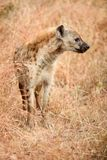 African Spotted Hyena on a South African Safari. Photographed on an game drive in a South African game reserve Royalty Free Stock Images