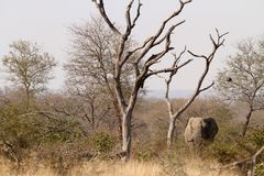 Adult African Elephant on Safari stock photography