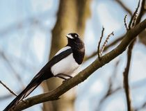 Eurasian Magpie perching on a bare tree branch blinking it`s eye with third eyelid. Photographed in late winter, a common Eurasian Magpie perches on a tree royalty free stock image