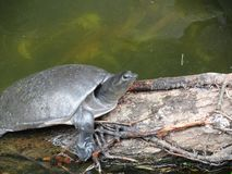 Turtle on a log, slow and steady stock image