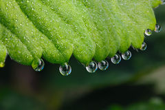 Photographed macro  drops of dew on the green leaves of str Stock Images