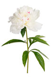Photographed macro isolated on white background flower Paeonia Stock Photo