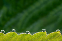 Photographed macro large drops of dew on the green leaves Stock Photos