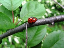 Ladybird Spring Love royalty free stock photo
