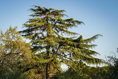Cedar of Lebanon Tree Cedrus libani with a Bright Blue Sky as Background. stock photography