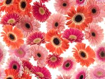 Photographed pink/purple/orange Gerber Daisies on a white background. Seamless image to be repeated endlessly. Great for printed wallpaper, fabric, wrapping Royalty Free Stock Photo