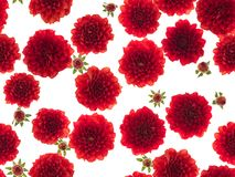 Photographed red Dahlias flowers on white background. Seamless image to be repeated endlessly. Great for printed wallpaper, fabric, wrapping paper Royalty Free Stock Images