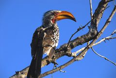 Africa- Close Up of a Beautiful Yellow Billed Hornbill Against a stock photography