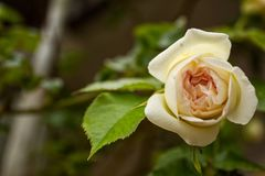 Delicate white and yellow rose royalty free stock images