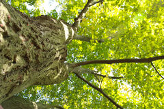 Photographed tree from the bottom to up Royalty Free Stock Photo