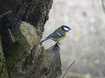 Great Tit Resting On Tree Stump stock photography