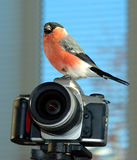 Photographer. A bullfinch is sitting on a camera Royalty Free Stock Photo