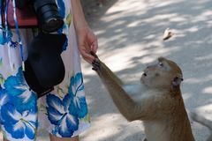 Monkey asking for woman to share a snack stock photo