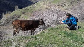 Photographer and cow. stock photography