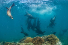 Photographer Diver approaching sea lion family underwater. Diver approaching sea lion family underwater to have fun and play Stock Photo
