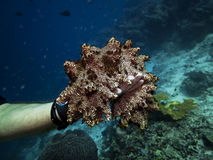 Photographer holding Giant Sea Cucumber during scuba dive royalty free stock photos