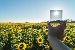 Photographer holds neutral gray filter in field with sunflowers. Stock Image